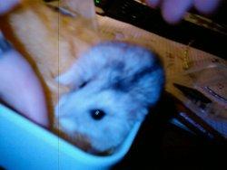 Minette, rongeur Hamster