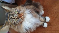 Minette , chat Maine Coon