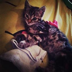 Minette, chat American Bobtail