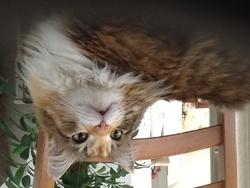 Minette, chat Sibérien