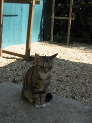Minette, chat Européen