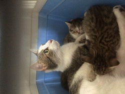 Minette 8 Mois à Adopter, chat Européen