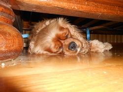 Fifi, chien Cavalier King Charles Spaniel