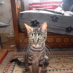 Minette, chat Mau Egyptien