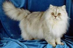 Minette, chat Persan