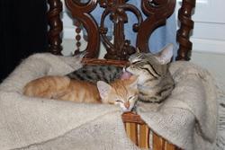 Minette Et Cannelle, chat Européen
