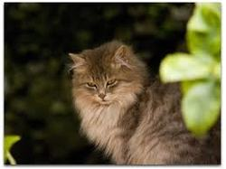 Minettha, chat Européen