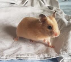 Mini, chat Persan