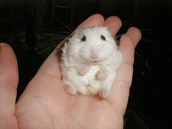 Mini, rongeur Hamster