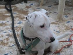 Jengo, chien