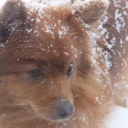 Mini, chien Spitz allemand