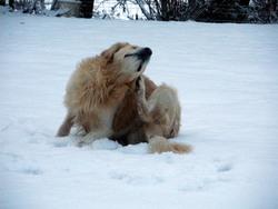 Mini, chien Golden Retriever