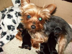 Mini, chien Yorkshire Terrier