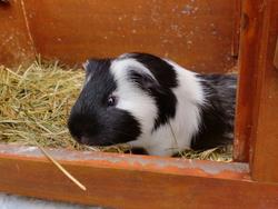 Mini Bob, rongeur Cochon d'Inde