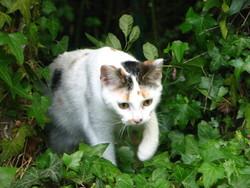 Minicat, chat Européen