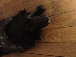 Minie, chien Épagneul breton