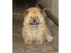 Minie, chien Chow-Chow