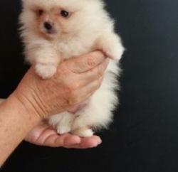 Minie, chien Spitz allemand