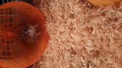 Minie, rongeur Hamster
