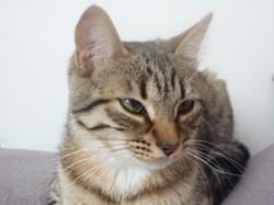 Minie, chat Européen