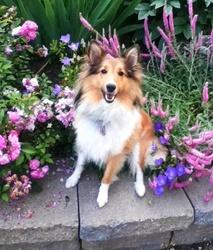 Minie, chien Berger des Shetland