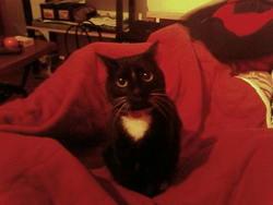 Minkia, chat Gouttière