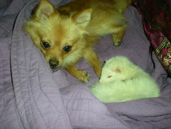 Minnie, rongeur Furet