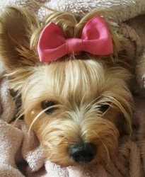 Minnie, chien Yorkshire Terrier