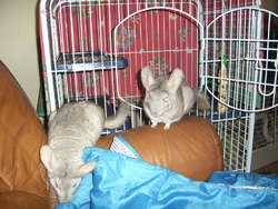 Minnie, rongeur Chinchilla