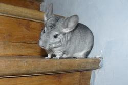 Minnie, rongeur Chinchilla