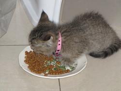 Minnie, chat British Shorthair