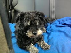 Minnie, chien Caniche