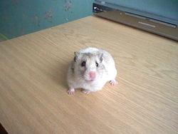 Minnie Au Paradis, rongeur Hamster
