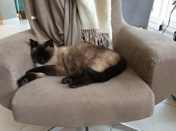 Minnie, chat Siamois