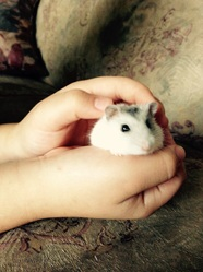 Minnie, rongeur Hamster