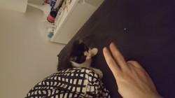 Minnie, chaton Européen