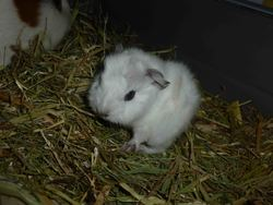 Minnie, rongeur Cochon d'Inde