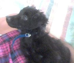 Minny, chien Chihuahua