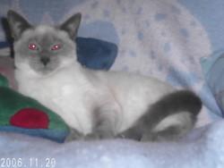 Minny, chat Siamois