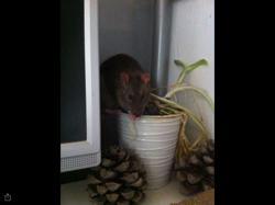 Mino, rongeur Rat