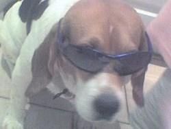 Mino, chien Beagle