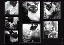 Minoo, chat Siamois