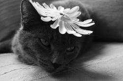 Minou, chat Chartreux