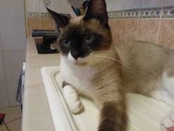 Minou, chat Siamois