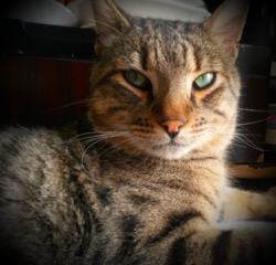 Minou , chat Ocicat