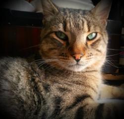 Minou , chat Ocicat