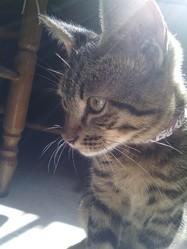 Minou, chat Bengal