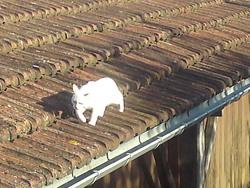 Minou , chat Siamois