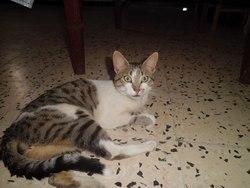 Minou, chat Birman