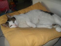 Minou Chou Fleur, chat Européen